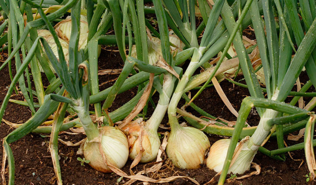 Bulbs and tops have that spicy, 'oniony' flavor.