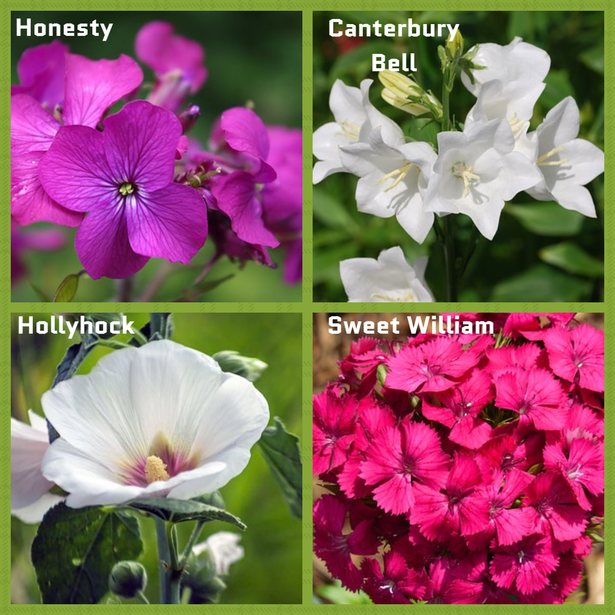 A selection of Biennial Plants in bloom