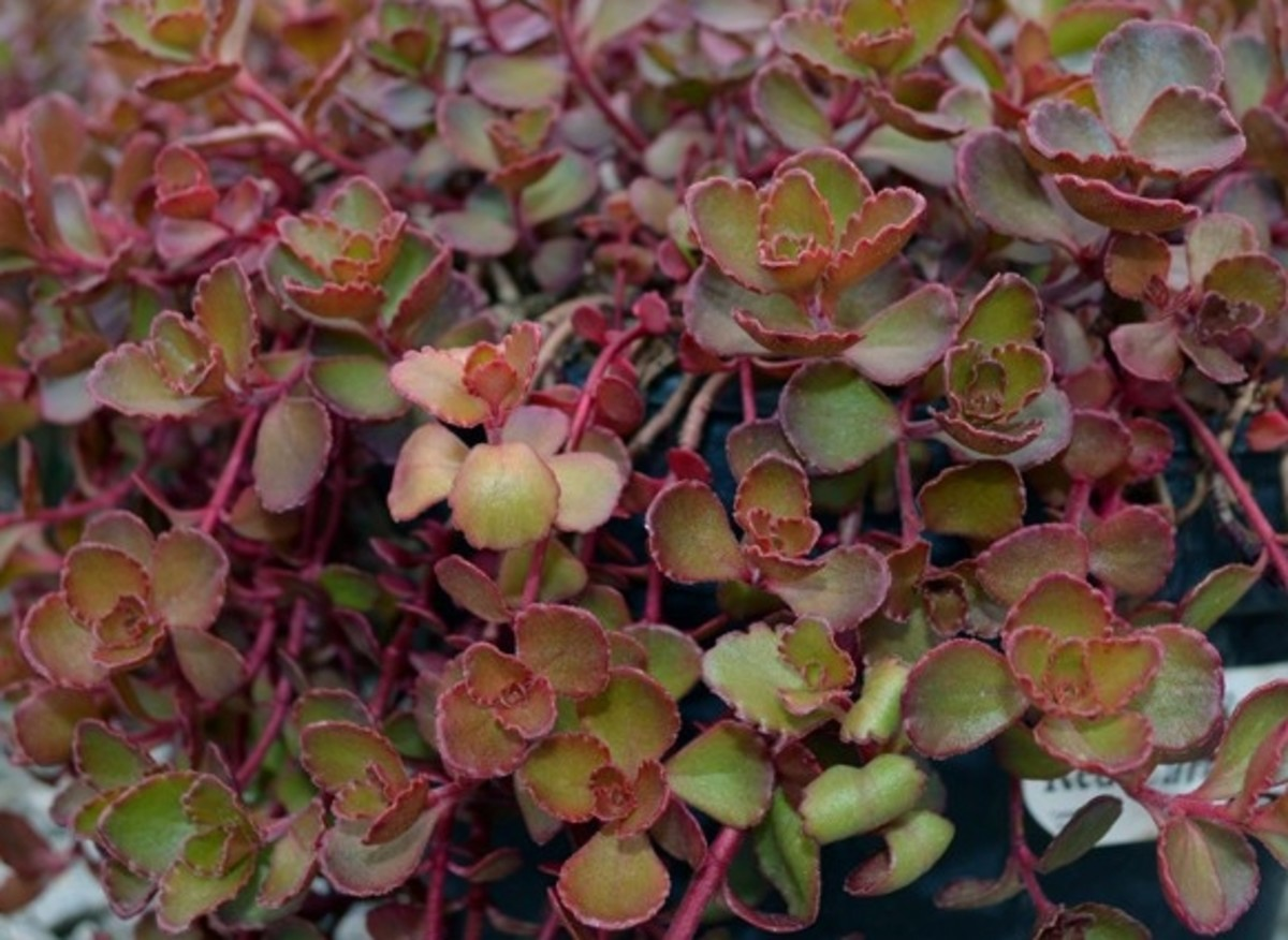 Red carpet sedum