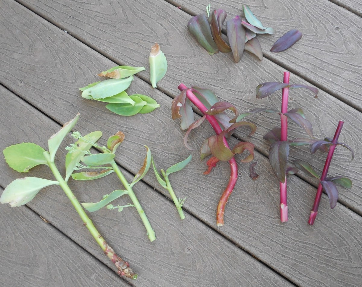 You should be able to get several stem cuttings from your existing sedum plants.  Each stem should be about three inches long with the lower leaves removed, as shown in the photo