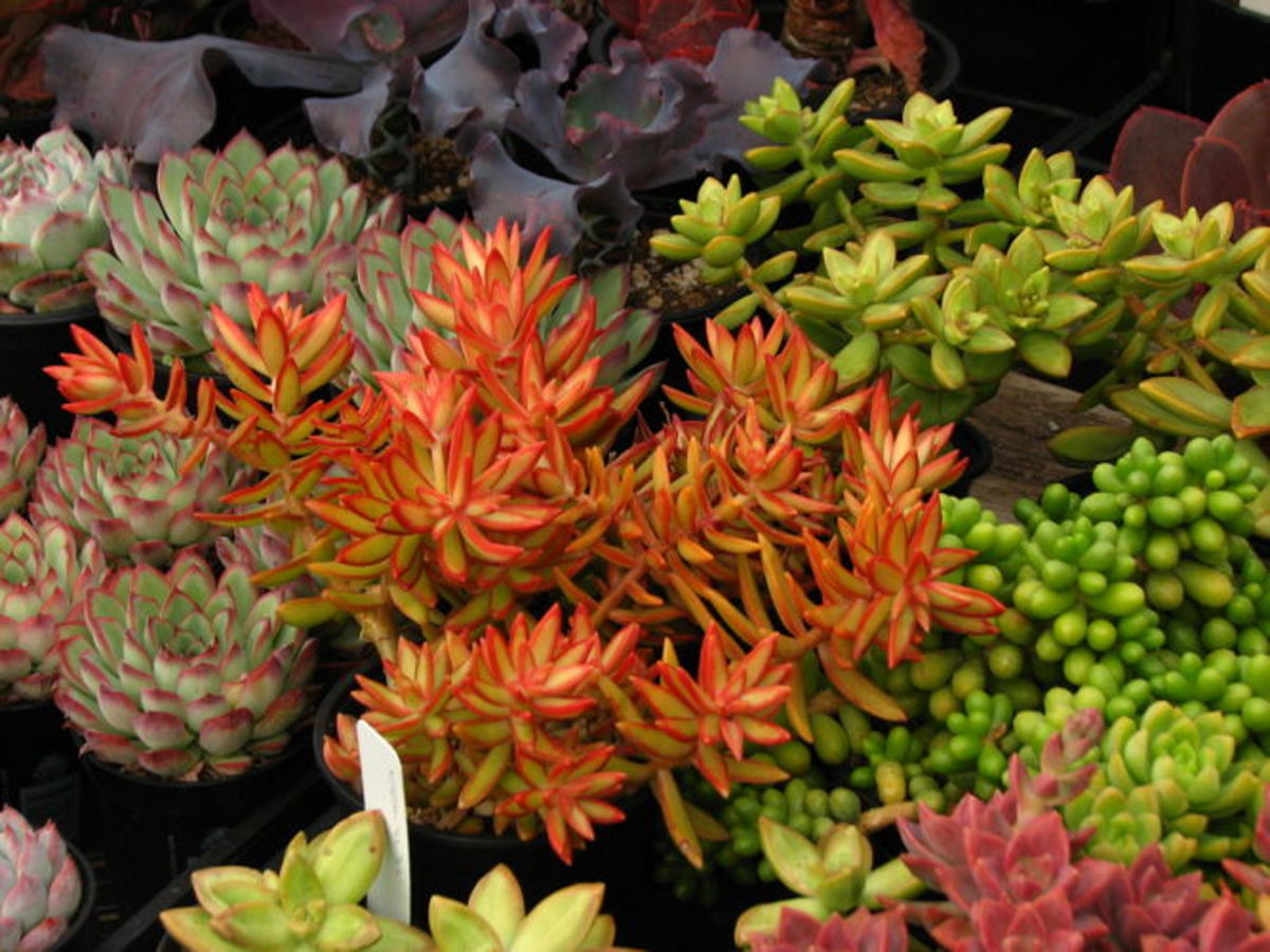 Firestorm sedum (sedum adolphii) is shown in the center of this photograph.