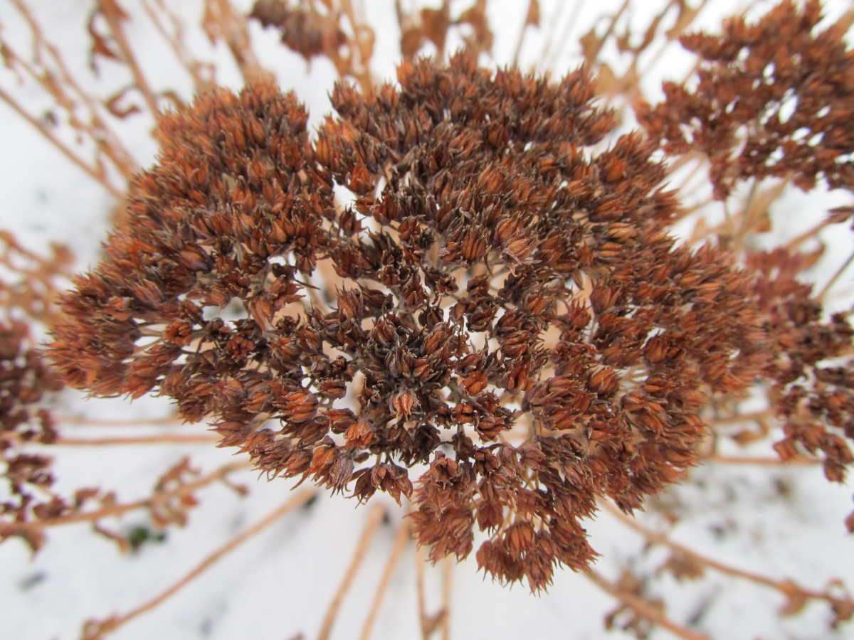 "The tiny, thin sedum ""Autumn Joy"" seeds are within this seedhead.  Always place your seedhead over a mesh wire screen to separate the delicate seeds from the remainder of the debris, as instructed in this article."