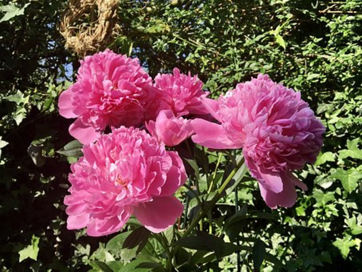 A pink peony.