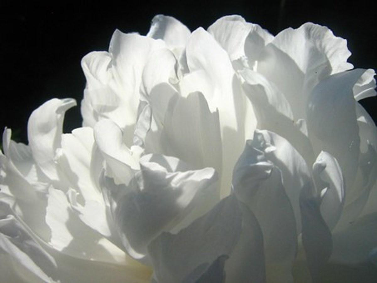 A white peony
