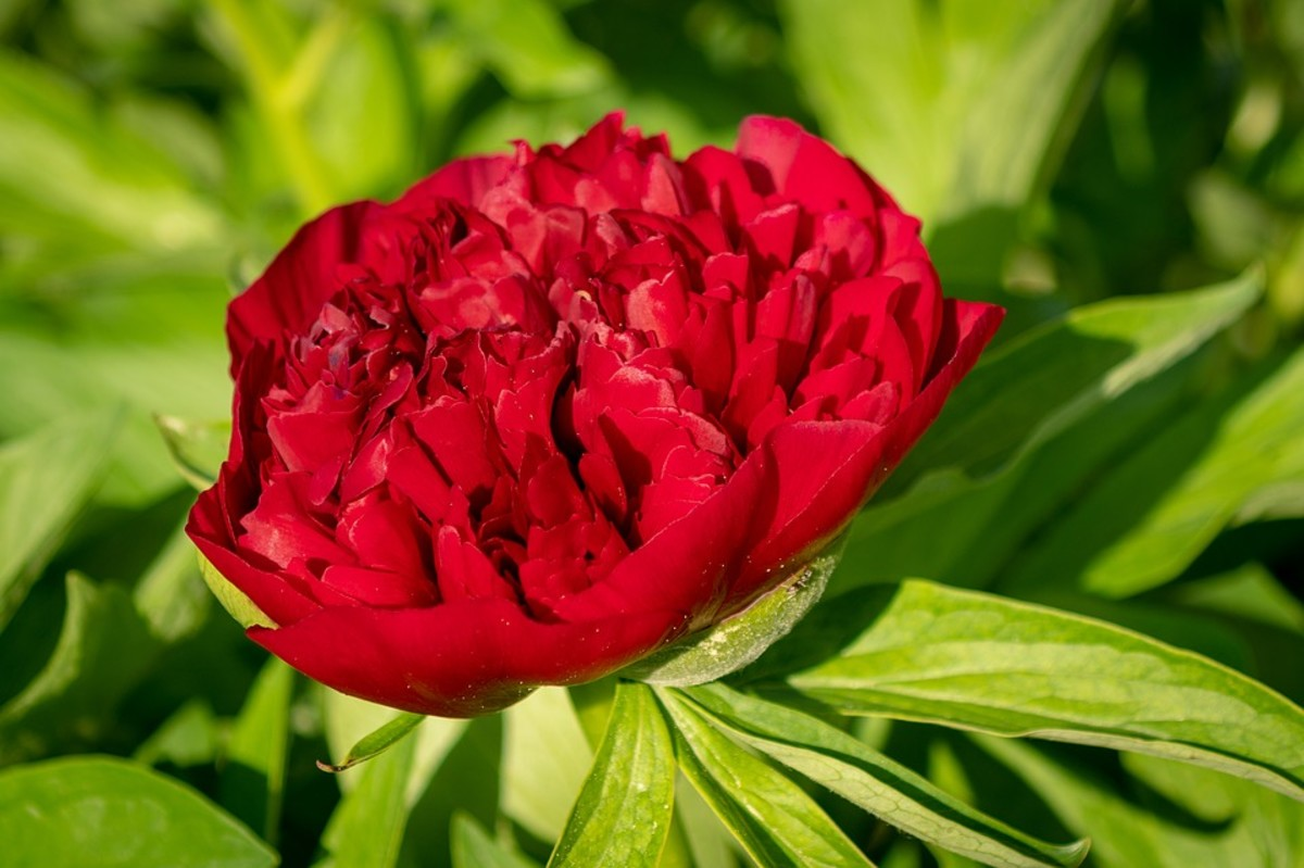 My favorite is the bright red peony.