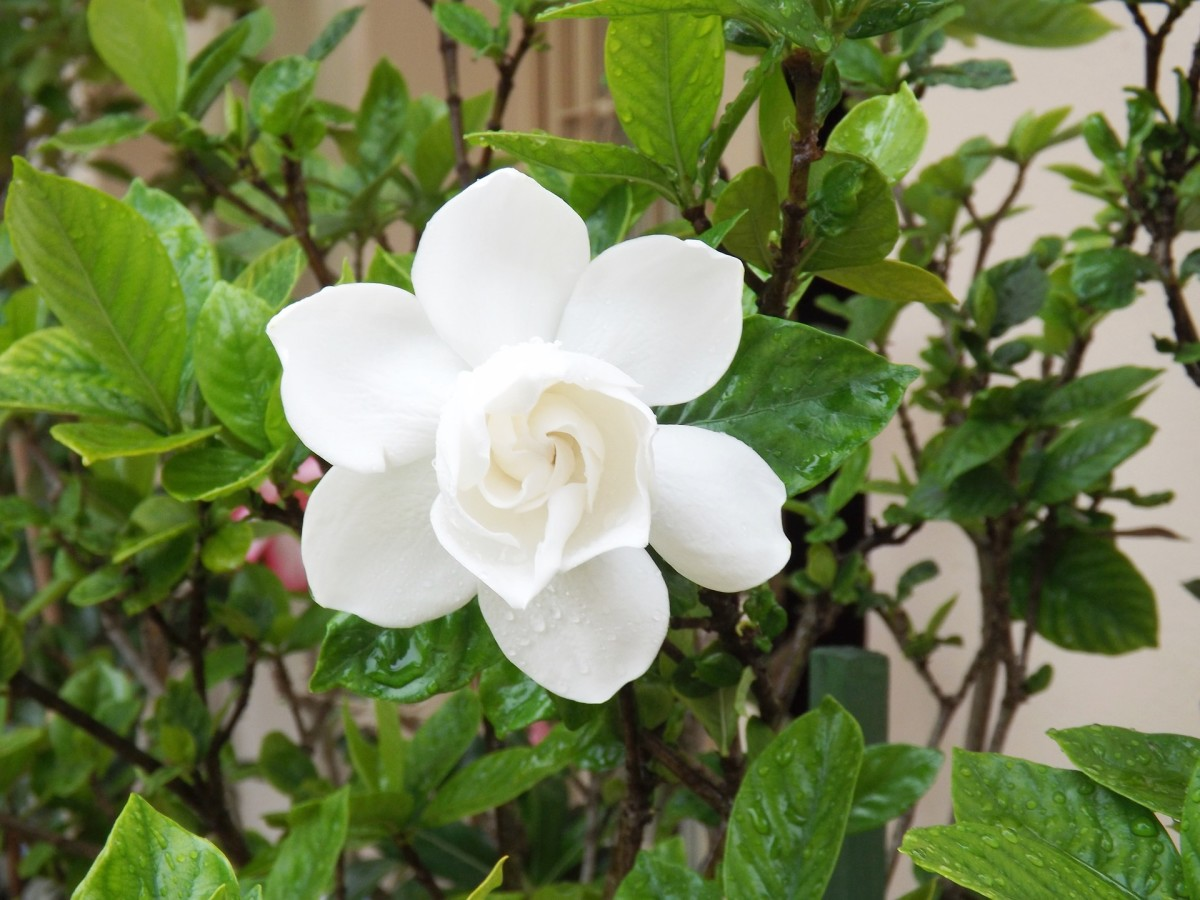 Gardenias can be affected by pests and other problems, but there are ways to combat these issues.