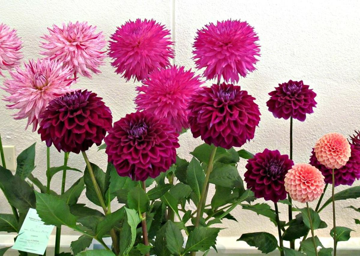 Dahlias come in a variety of bright colors as you can see from the photographs in this article, graciously shared by the photographer, Roy Kelley of Gaithersburg, Maryland.