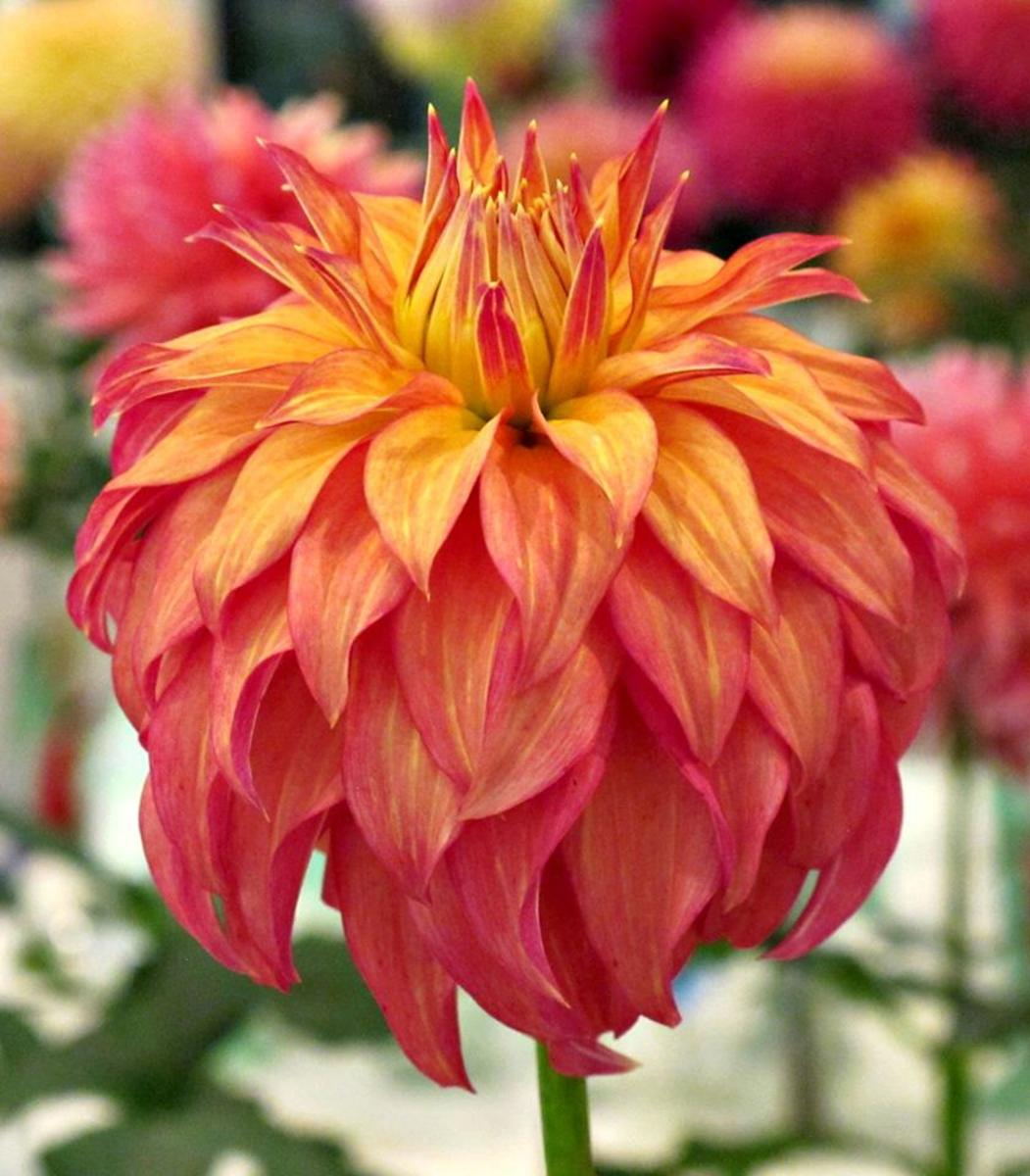 Bloomquist pumpkin dahlia