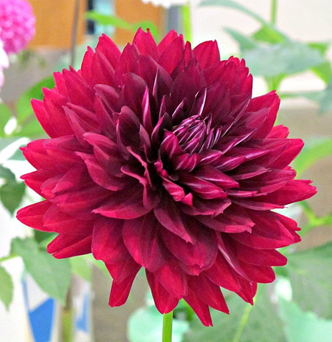 Hollyhill black widow dahlia