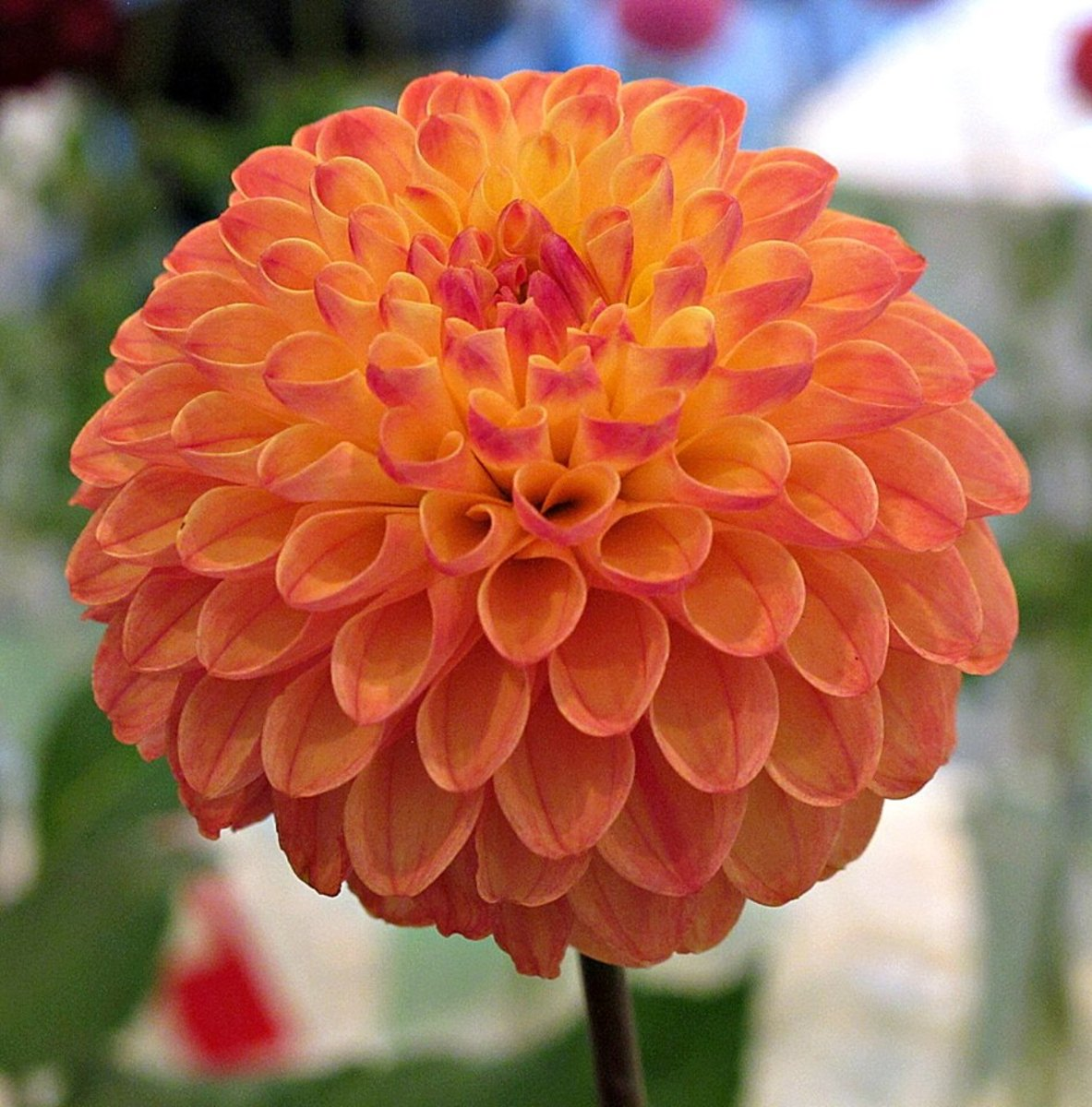 Clearview butterscotch dahlia