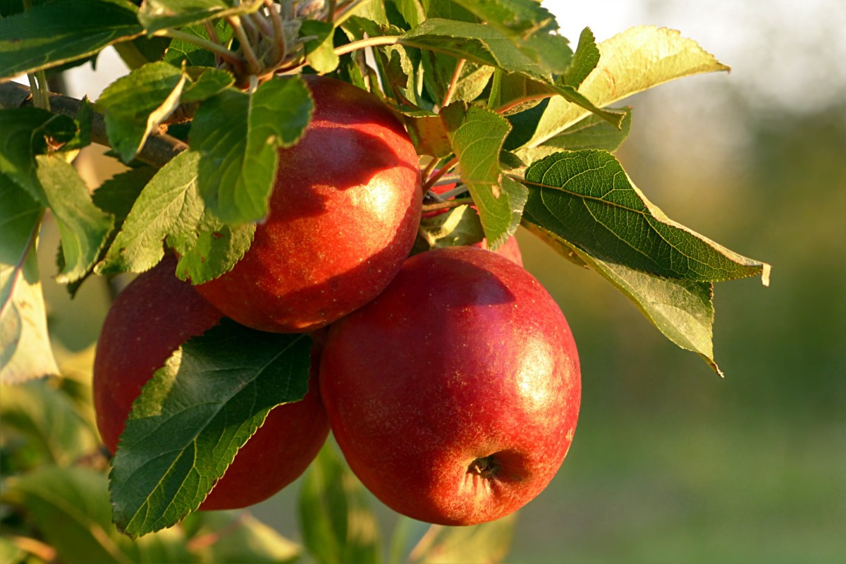 How to Grow a Dwarf Apple Tree