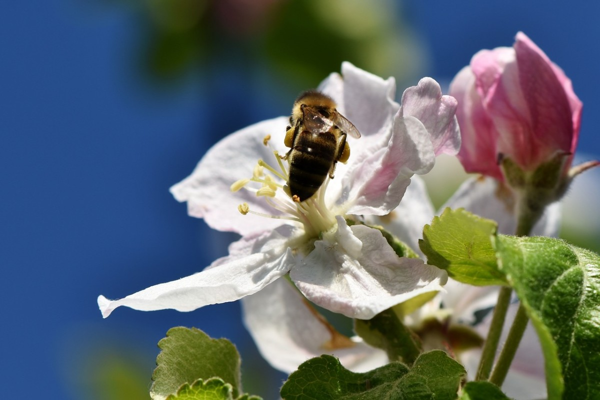 A bee pollinates an apple blossom.