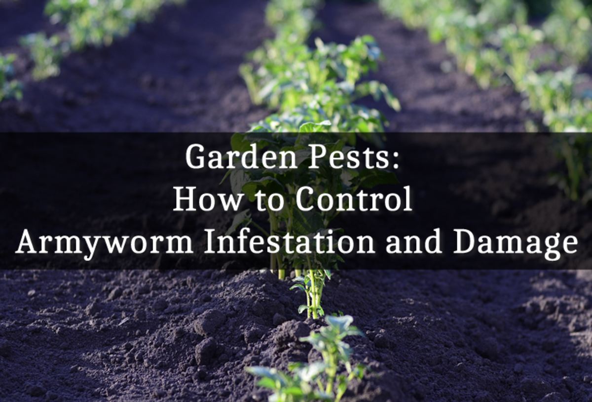 Garden Pests: How to Control Armyworm Infestation and Damage