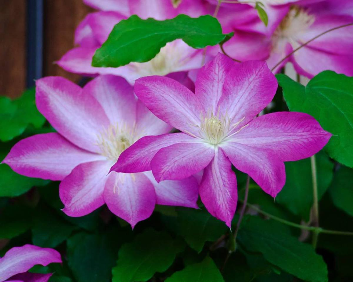 There are many different striped clematis flowers, most of which are compact and suitable for smaller gardens and containers.