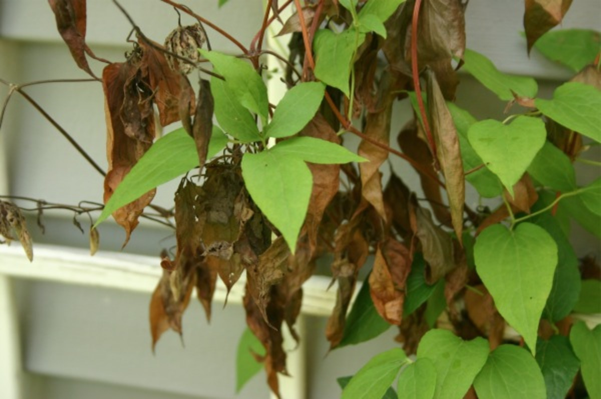 Clematis wilt attacked the top portion of a clematis vine, but if you cut the affected portion back to the ground, the plant should survive, as it doesn't affect the roots.