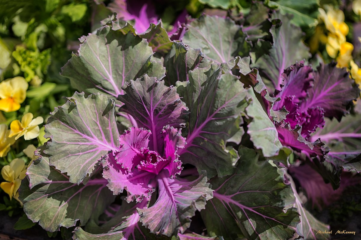 Plant Ornamental Cabbage and Kale to Replace Frost-Bitten Annuals