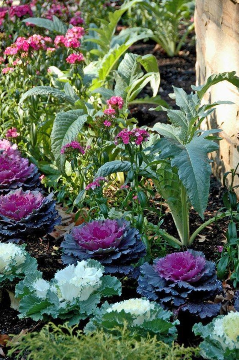 Aside from the spectacular beauty of ornamental kale, the plants don't require pinching, pruning or staking, which should be appealing to most gardeners.
