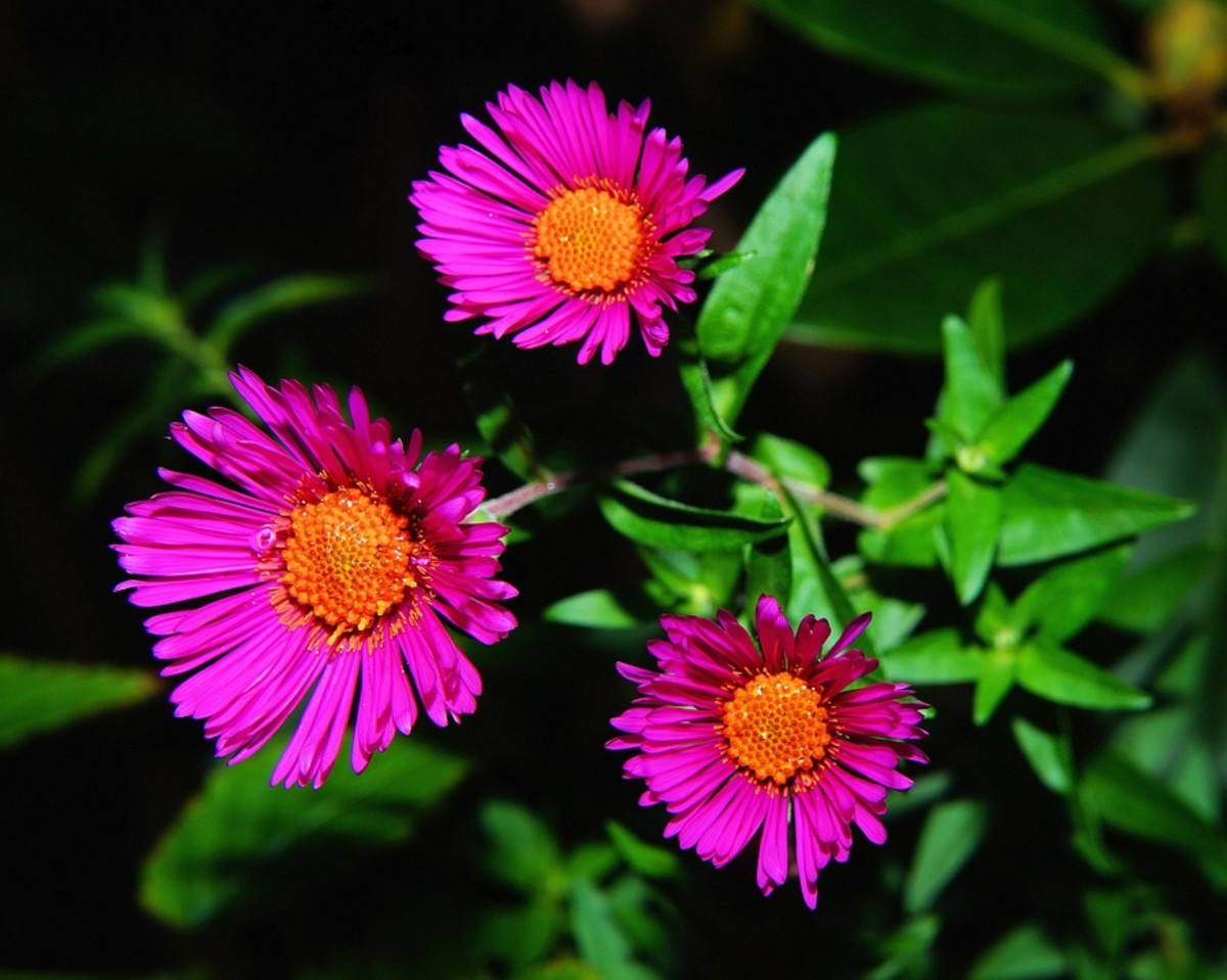 A rose pink aster.