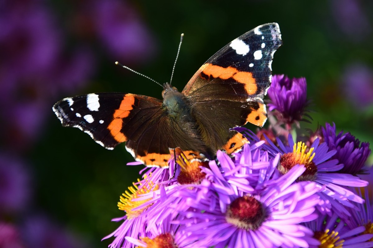 Butterflies like the asters too.