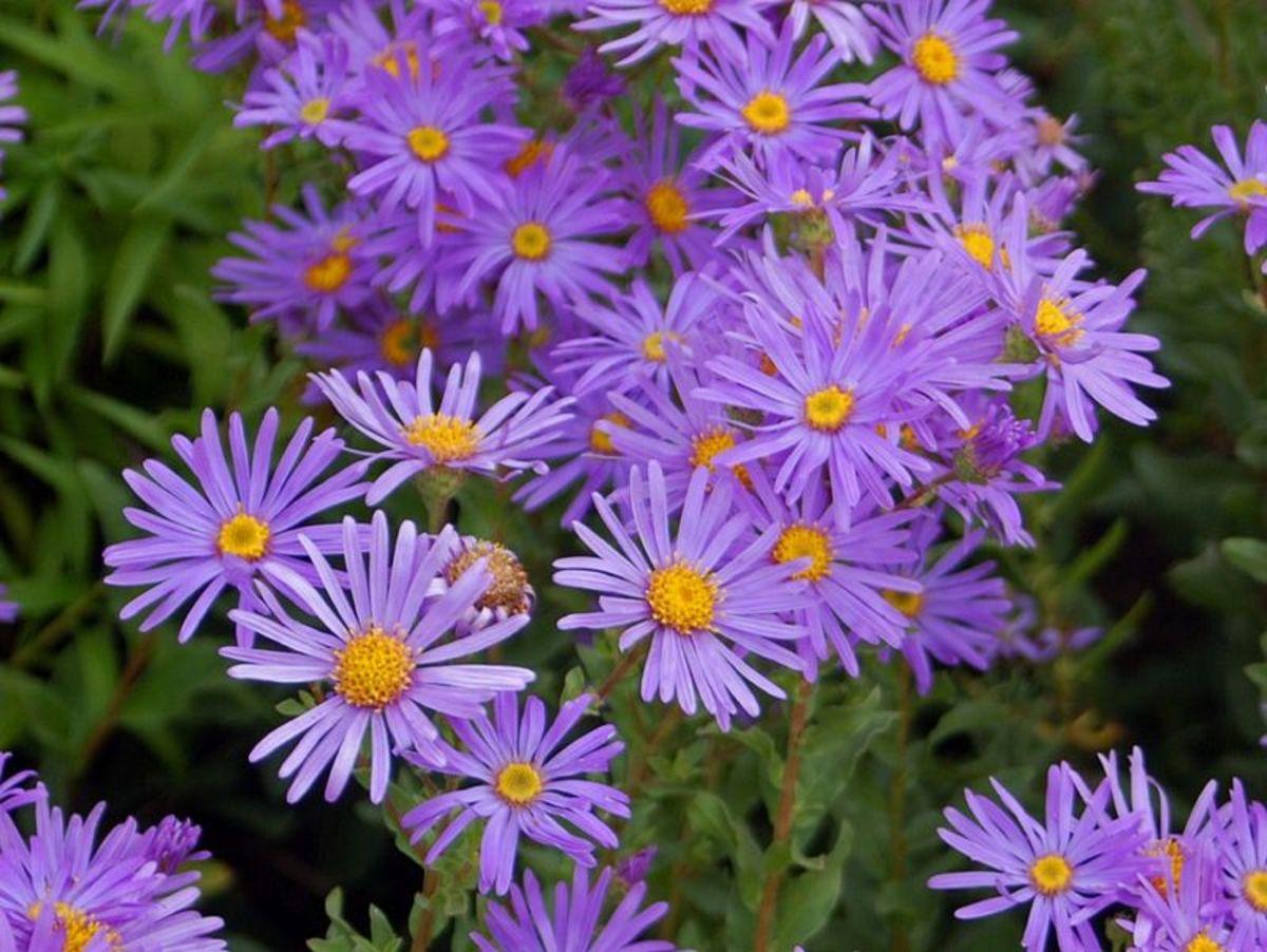 Aster amellus - (Botanika Zahrada Fata Morgana Praha)