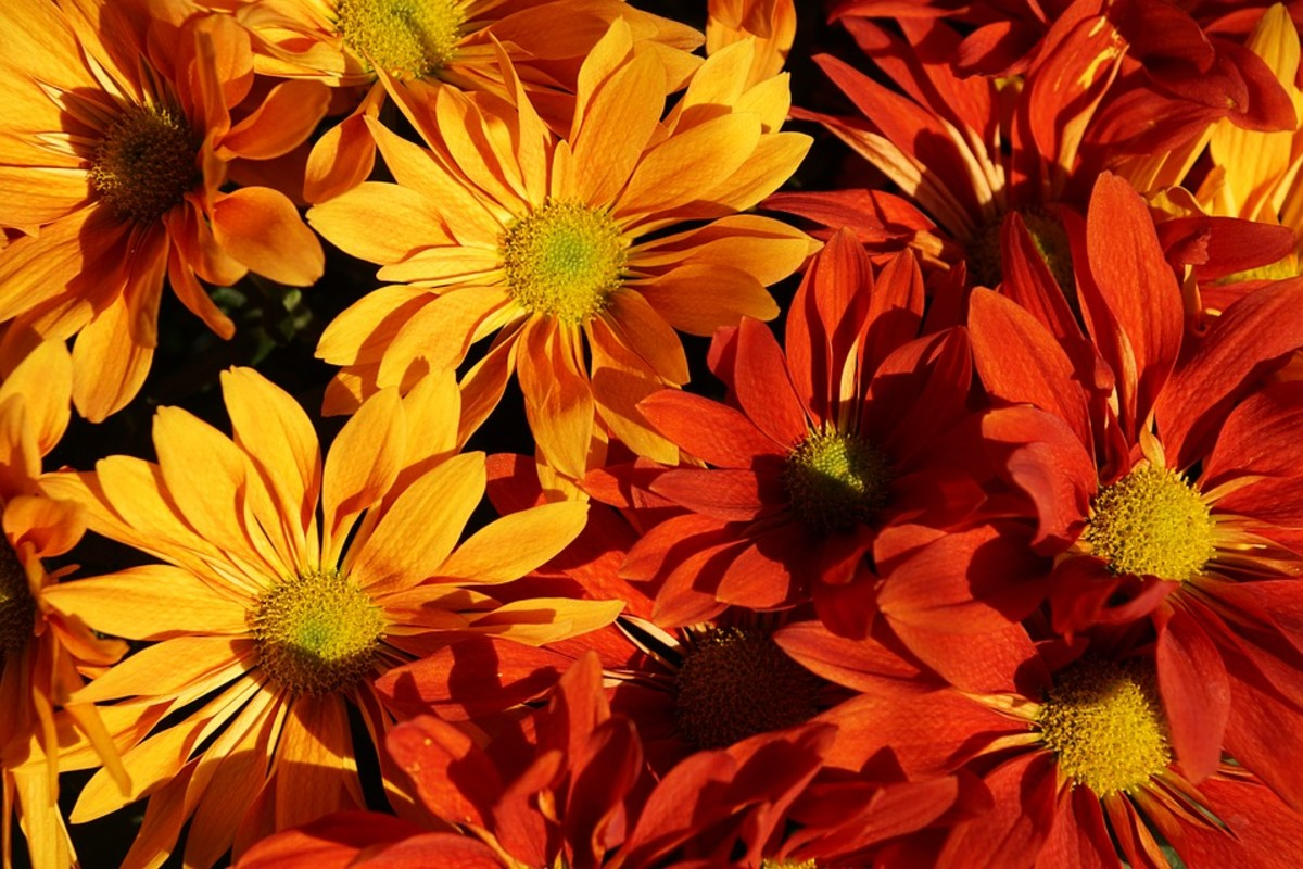 Aster with beautiful fall color.