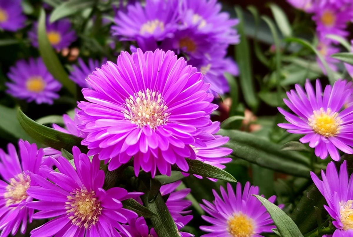 A lavender aster