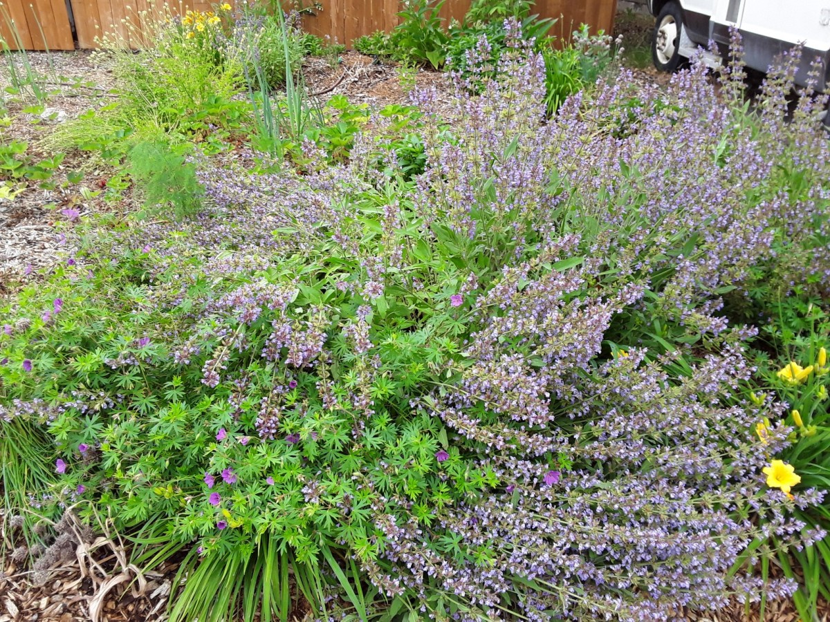 Any heathy plant can be used. This sage is out of hand and about to become mulch for the almond tree.