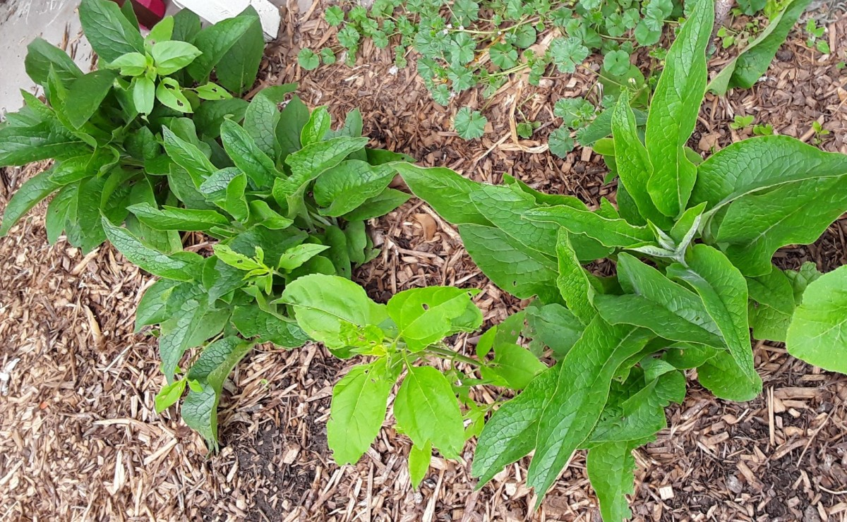 Comfrey very easy to grow and propagate. I planted comfrey in this area a year ago. At the end of summer I dug the plants up because I decided to make a walkway and wanted the comfrey for other areas. This spring the comfrey came up both places.