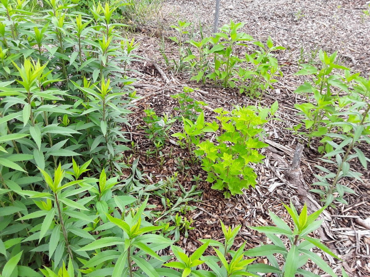 I chop and drop this goldenrod whenever it encroaches on this red currant or other desirable plants.