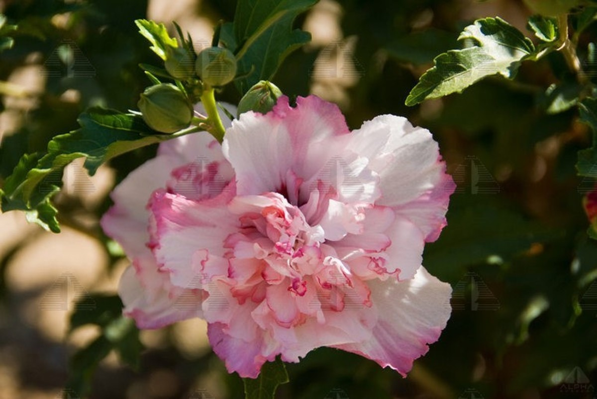 This is a gorgeous Danica™ Rose of Sharon (Althea) with double blossoms that feature white petals with pink to red stained tips.  It would be easy to confuse this Rose of Sharon flower with a carnation that has had its tips dyed by a florist.