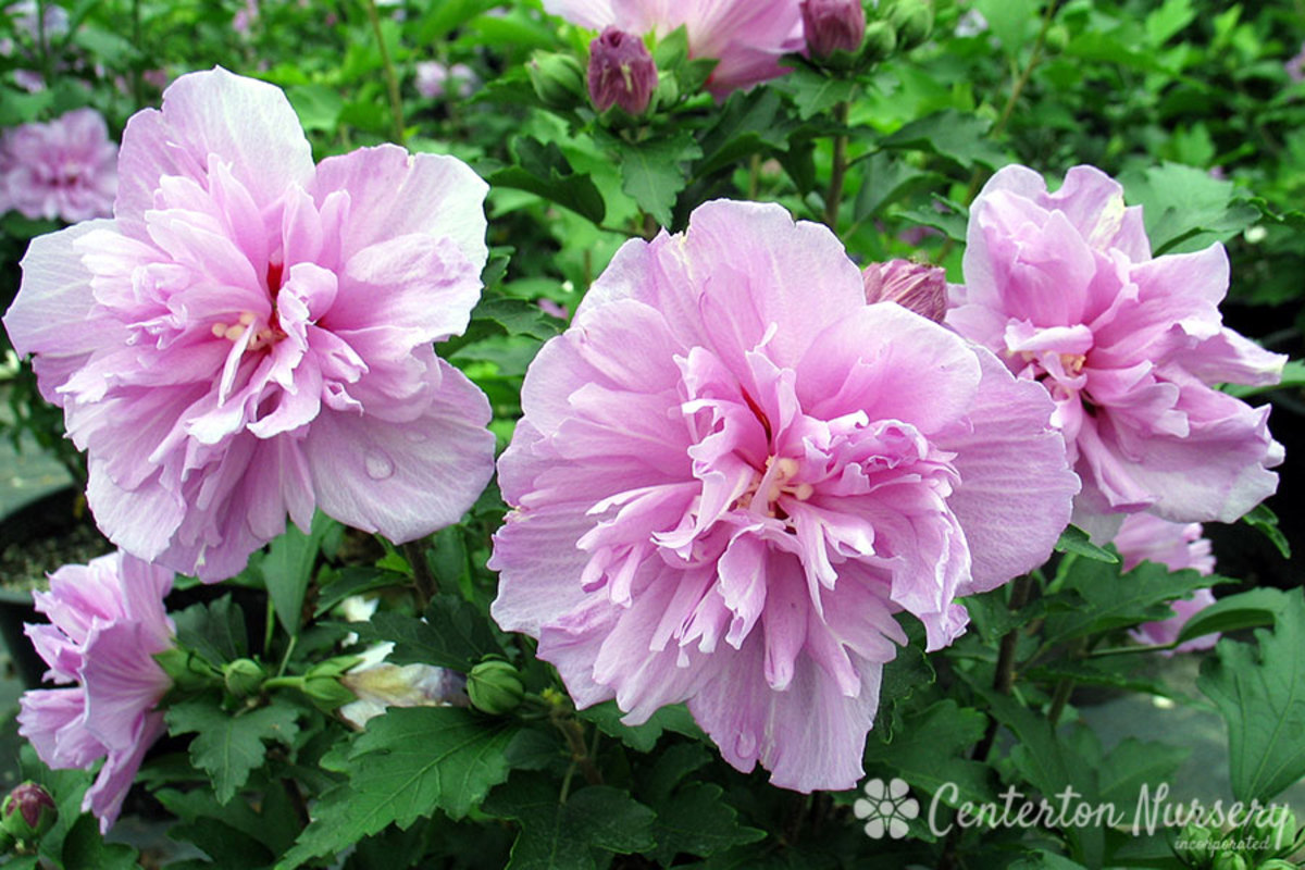 This double purple Rose of Sharon flower is very similar to other varieties of hibiscus, as well as double hollyhocks.  If you stay confused about flowers, you are one among many.