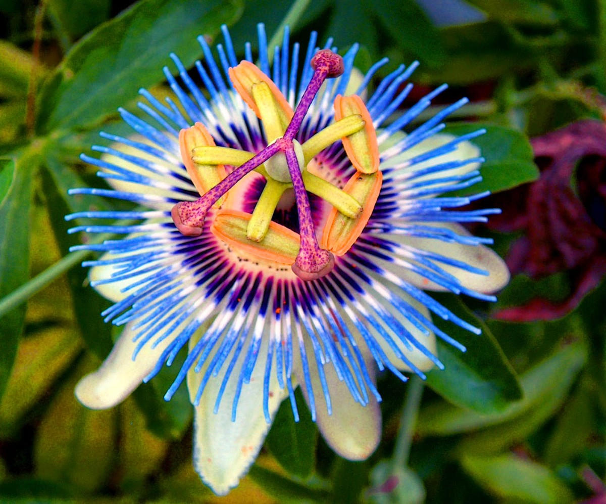 This is a gorgeous blue indigo passionflower, a species that is extremely fast growing and hardy flower producing egg-shaped orange fruits with deep red, edible pulp (not quite as tasty as the purple passion fruit).
