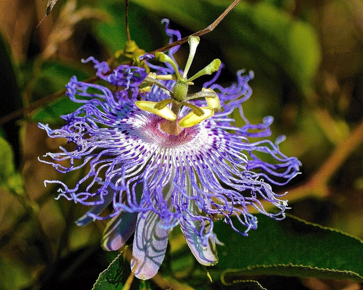 A passionflower is very exotic and delicate looking, but don't let the appearance fool you - it is actually very tough and can be propagated using several different methods.