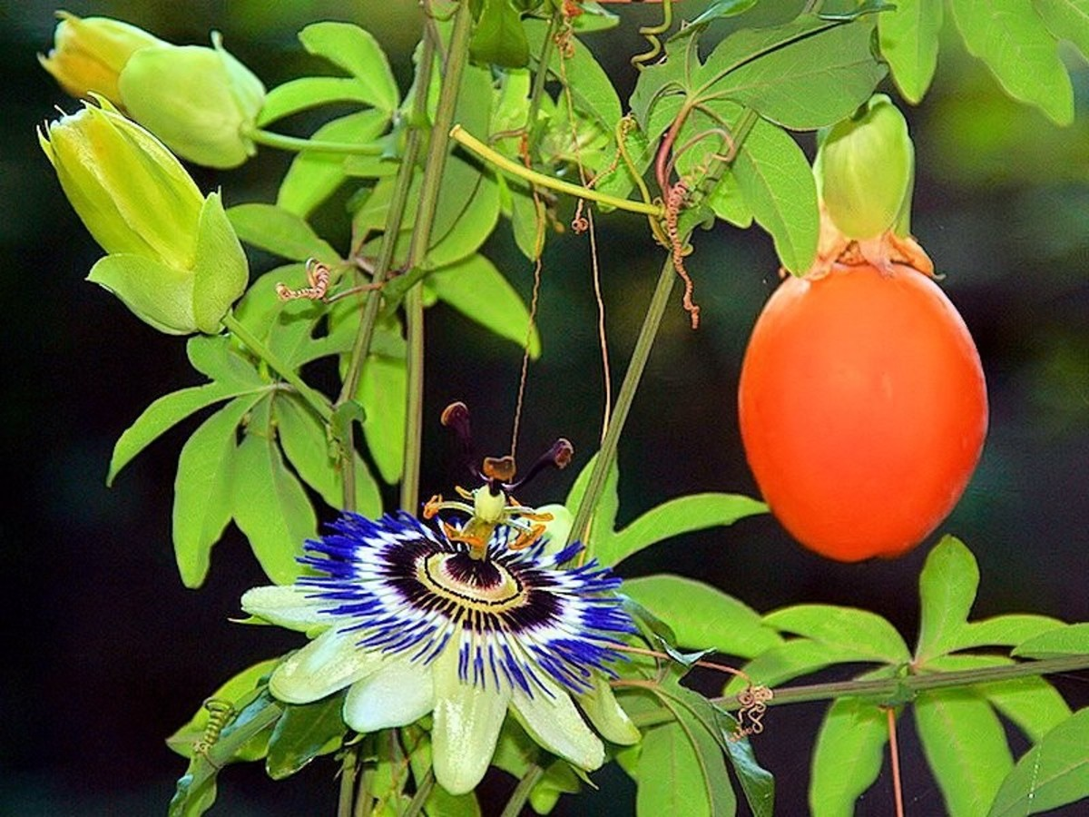 A passionflower is beautiful and the passion fruit is delicious, but a smooth-skinned passion fruit is not ripe. So if you are planning on eating what's inside, you should wait until the fruit is dimpled on the outside and falls to the ground.