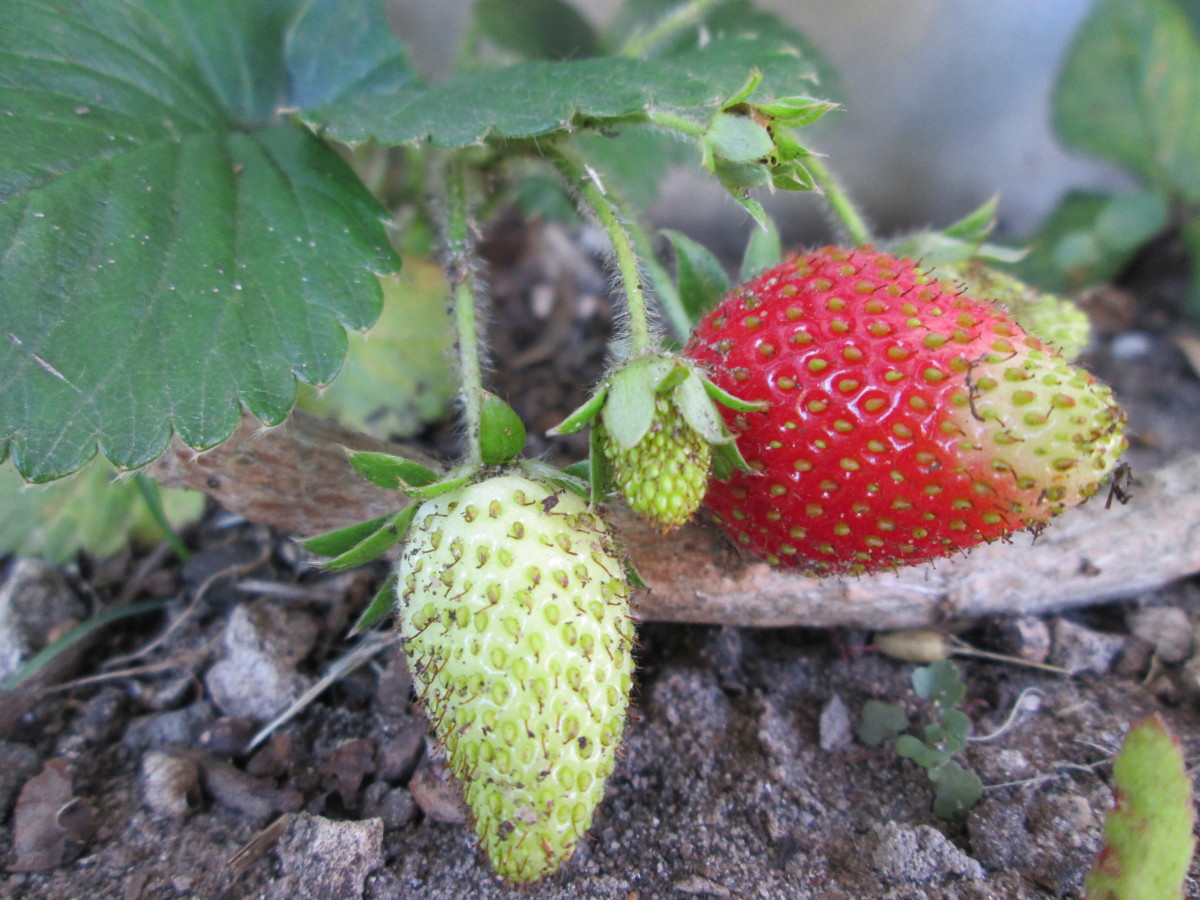 Safely Transplant Strawberries