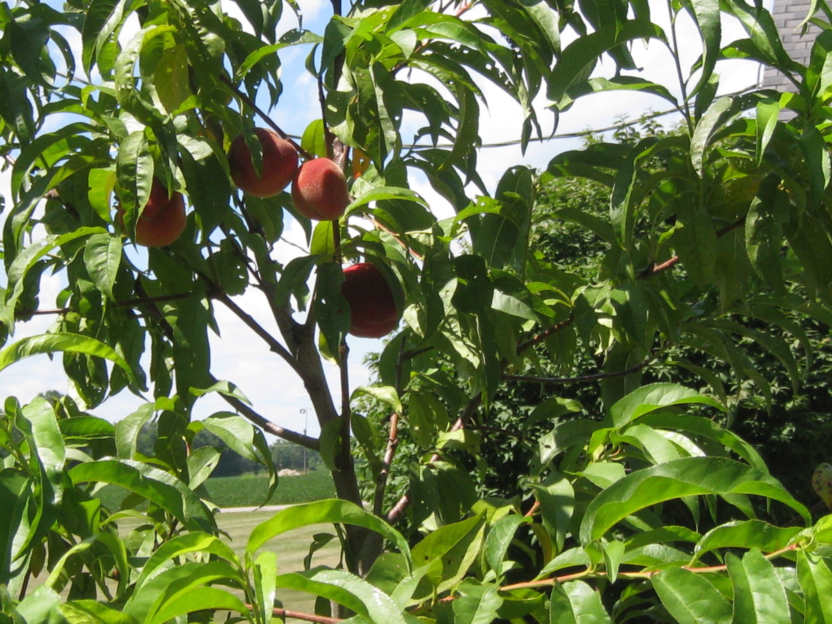 These Elberta peaches are growing in  Delaware County (Ohio)