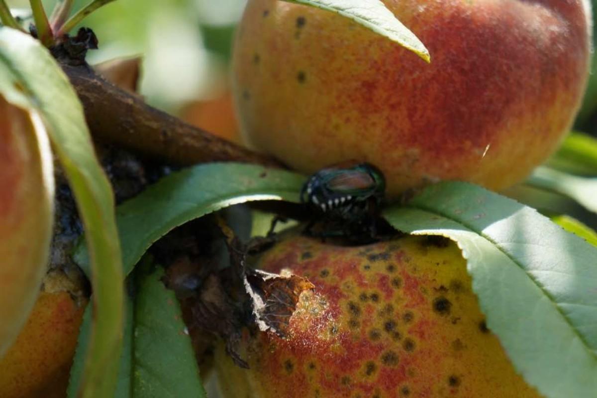 Japanese beetles munch on growing peaches