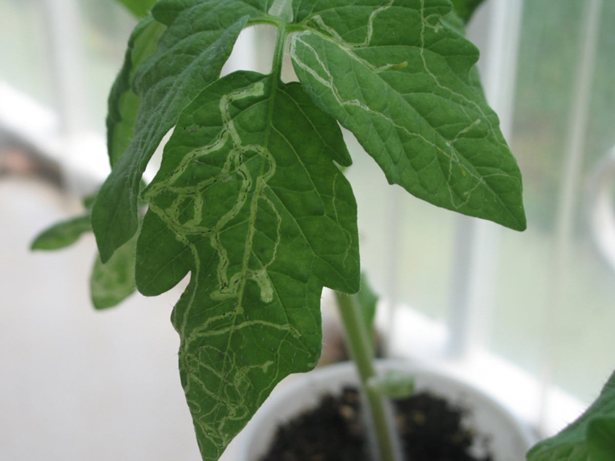 Tomato leaf with leaf miner damage.  Note how the width of the tunnels increase as the larvae grows.