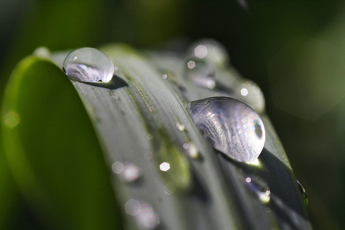 Water droplets on a monkey grass blade.