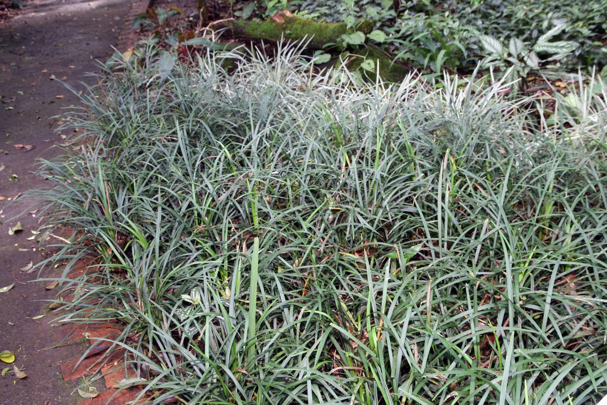 Monkey Grass makes a great border plant.