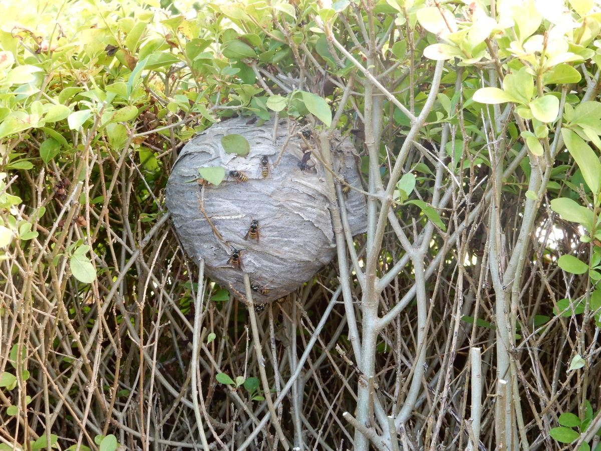 Wasps crawling on the nest.