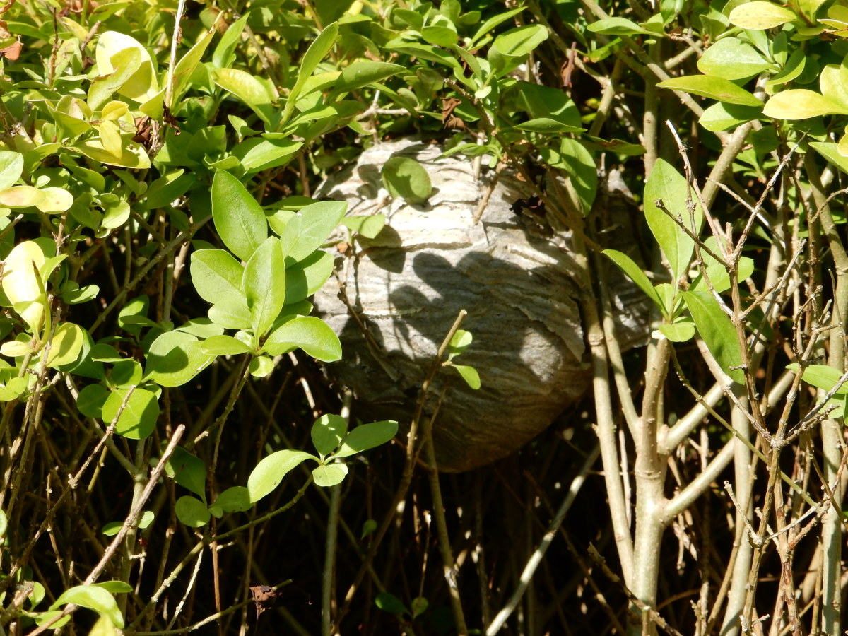 Attempting to get rid of a wasp nest in a hedge should be approached with great care.