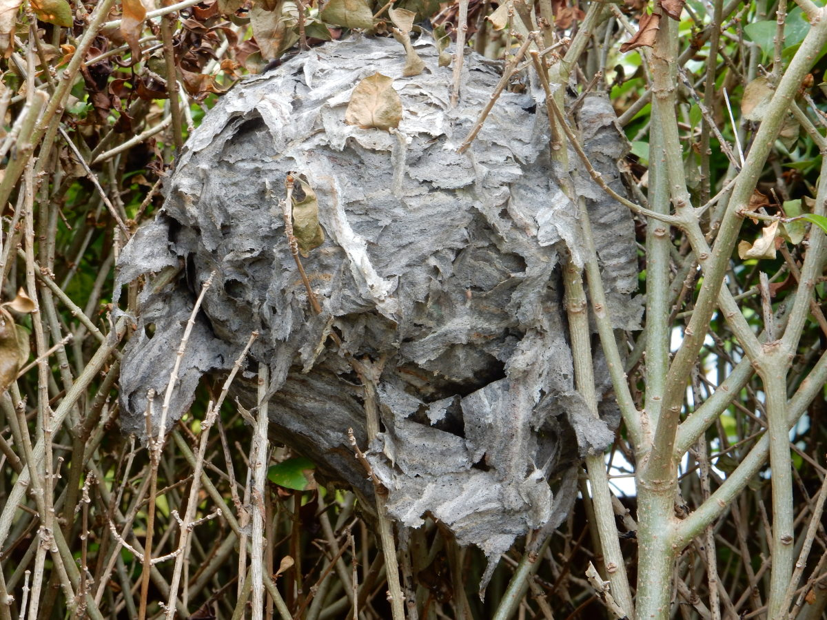 The destroyed wasp nest one week later.