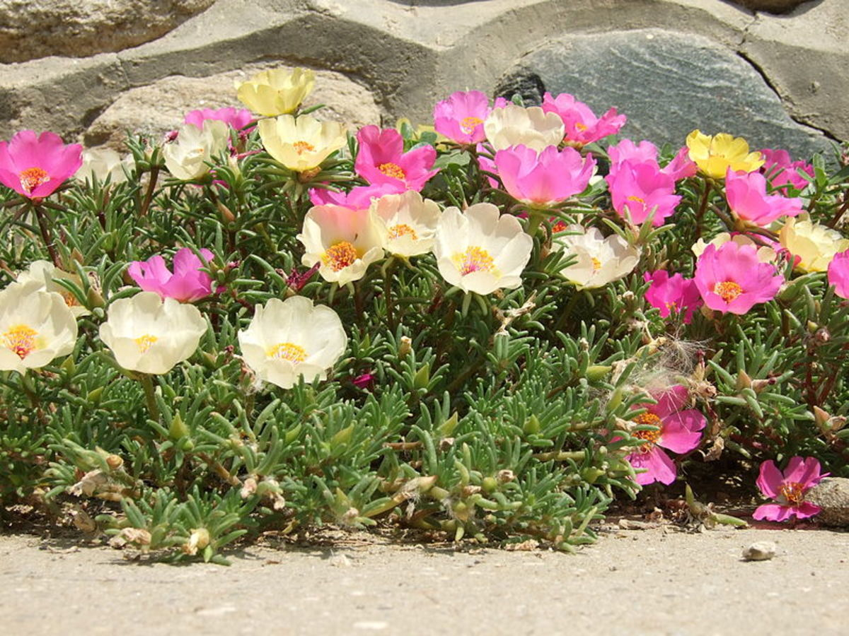 Portulaca used as an edging.