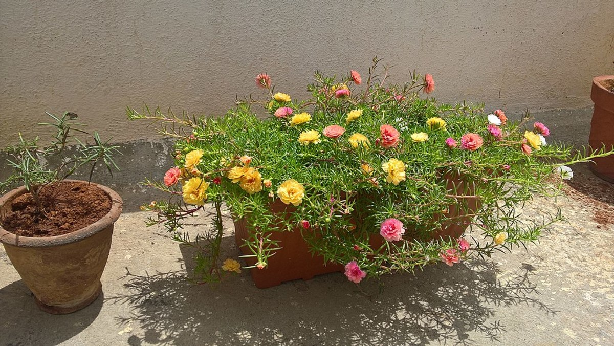 Portulaca grown in a container.  It drapes nicely over the sides of the container making it appear lush and full.