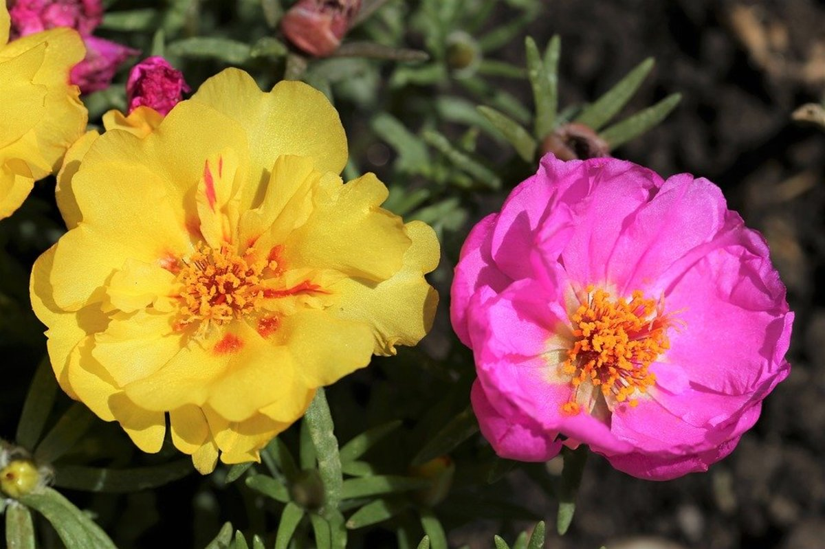 How to Grow Portulaca (Moss Rose)