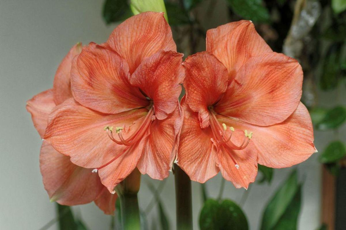 This is the amaryllis hippeastrum Peach Melba.