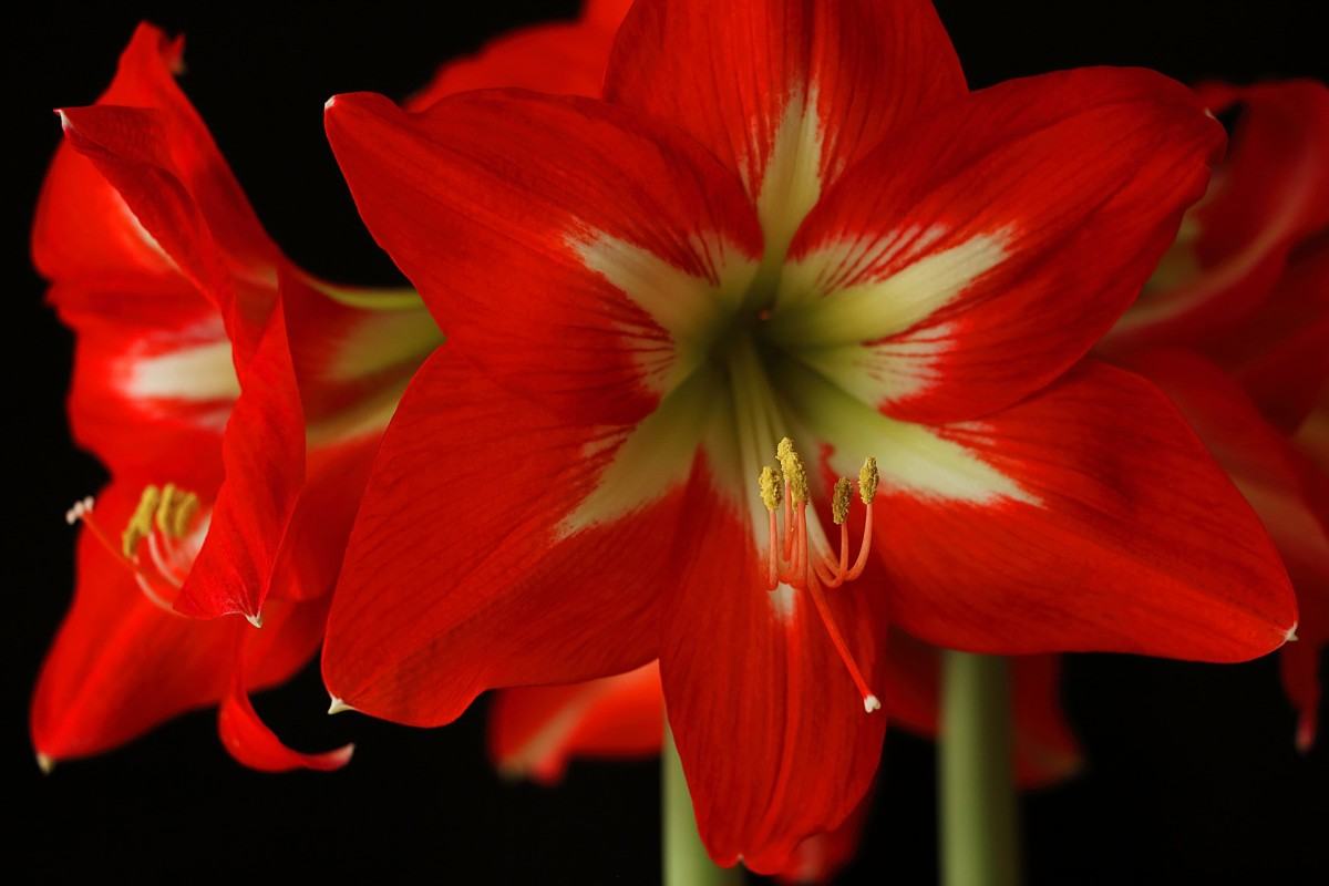 The amaryllis flower can be outrageously beautiful.