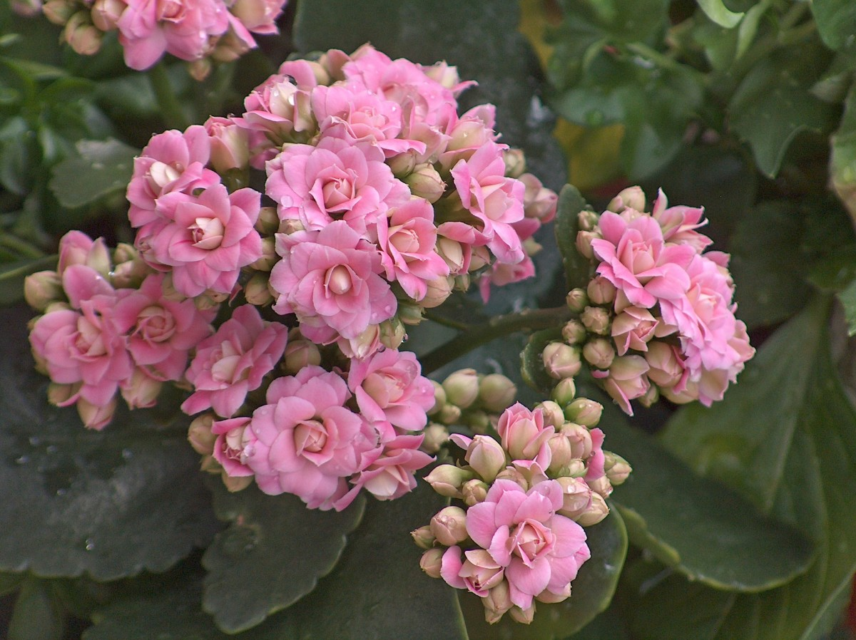 How to Care for a Kalanchoe Plant