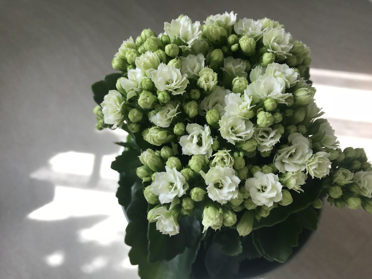 How To Care For A Kalanchoe Plant Dengarden